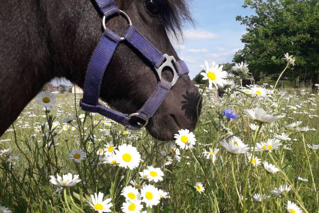 Pony auf Blumenwiese