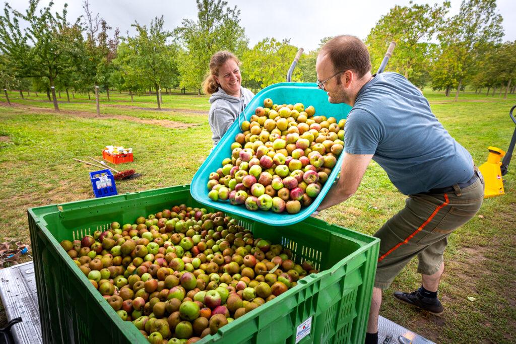 Menschen bei der Apfelernte