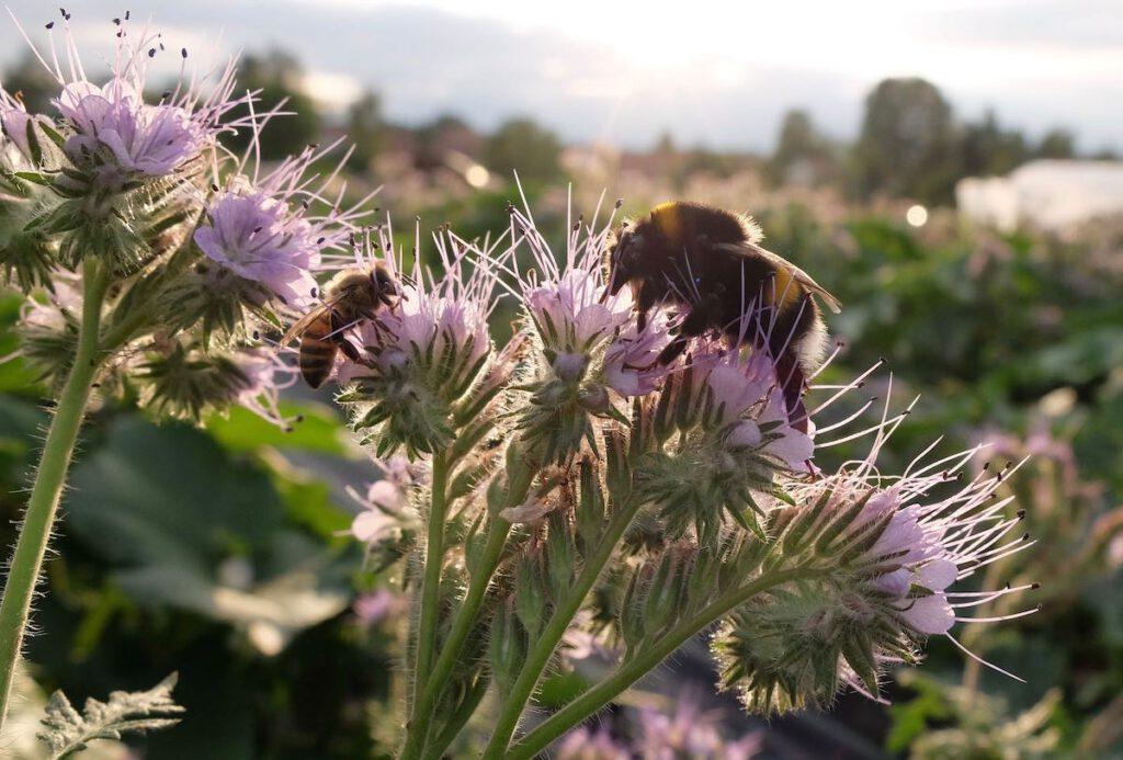 Phacelie mit Hummel und Biene