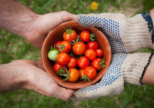 Landwirtschaft Tomaten Ernte